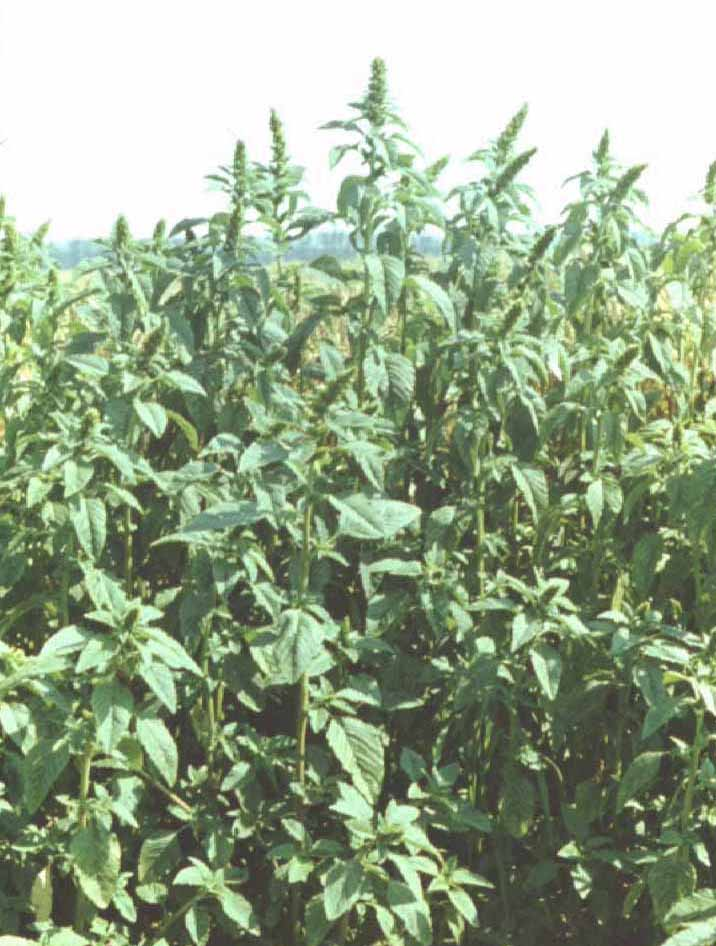 Szántóföldi gyomnövények